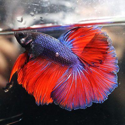 BLUE-VIOLET-RED-Rosetail-Halfmoon-HM