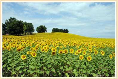 Neverending fields of sunflowers in the Dordogne region of France