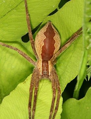Pisaurina mira (Nursery Web Spider) | Adult Female | This is a large hunting…