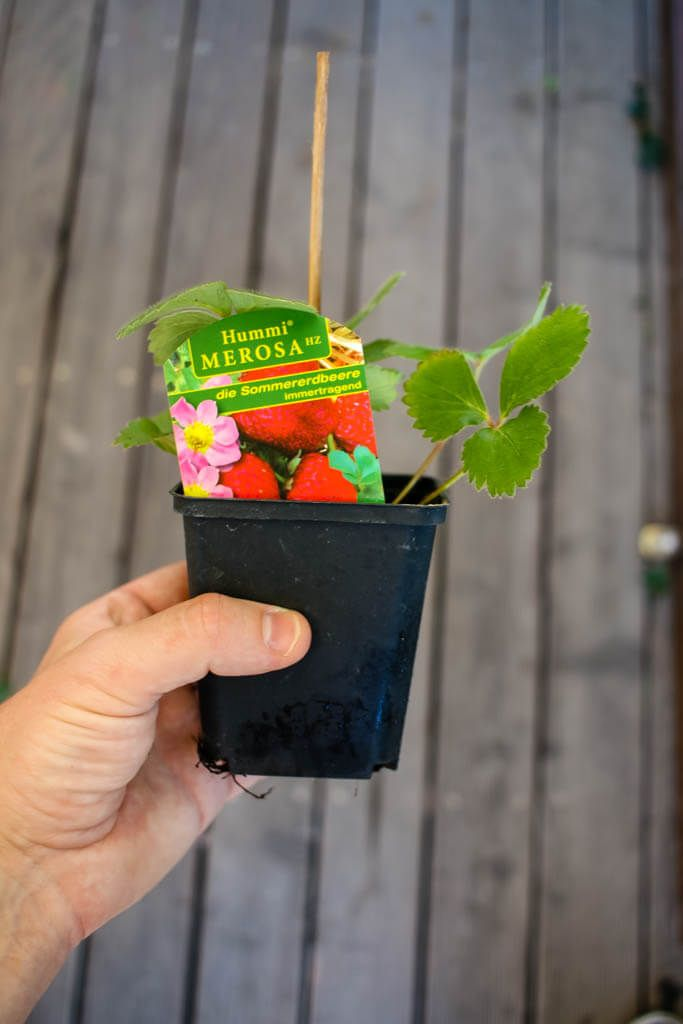 Erdbeeren anbauen ist ganz einfach - hier steht, wie es geht, wo man gute Pflanzen herbekommt und wie man eine reiche Ernte erzielt - ohne viel Aufwand.