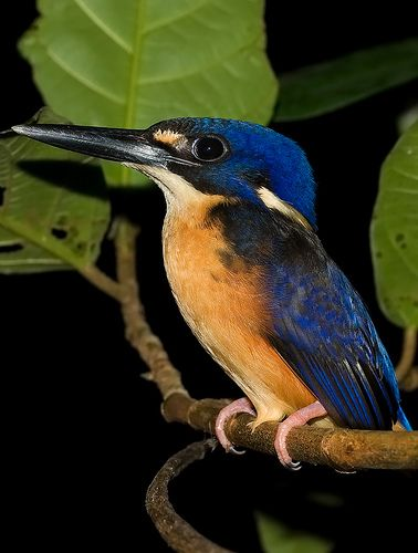 """Azure kingfisher: """"The azure kingfisher is often glimpsed as a gorgeous flash of blue as it dashes along a stream. One of only two Australian river kingfishers, it nests in a burrow in the bank and dives for aquatic prey from an overhanging perch."""" Australian Wildlife www.bradtguides.com"""
