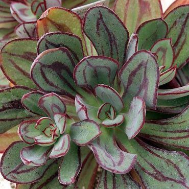 Echeveria Nodulosa Painted Plantology Cacti N Succulents Pinterest And Plants