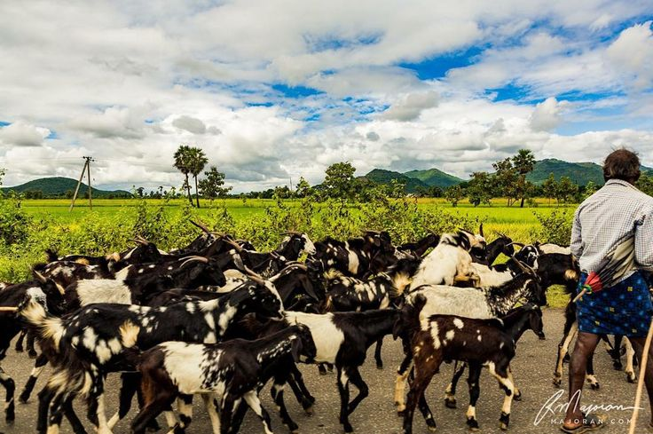 The heart of man plans his way, but the Lord establishes his steps. - Proverbs 16:9  Photo: Traveling throughout India, we came across many shepherds, goats and cows. This was a herd of goats traveling up a rural roadway.