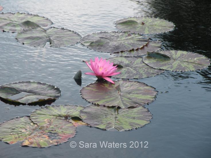 Water Lilly,  Brooklyn Botanical Garden,  New York