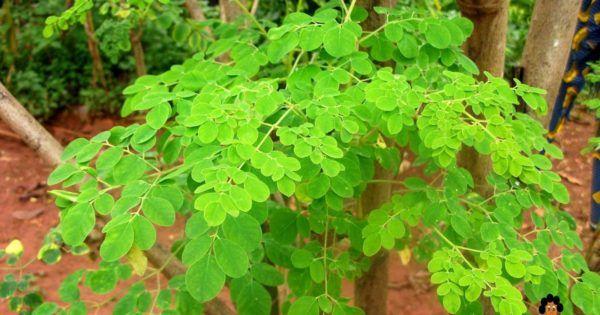Moringa Oleifera – schon der Name dieser bei uns erst seit kurzem bekannten Pflanze klingt wie eine Zauberformel. In Indien wurde er, dort bekannt als der Baum des Lebens, schon vor über 5000 Jahren in der traditionellen ayurvedischen Heilkunst eingesetzt. Über 300 Krankheiten soll er angeblich heilen können. Doch was steckt dahinter? Was macht den