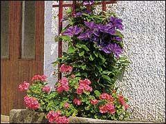 клематисы в контейнере  Клематис вполне может расти на окне, а также на открытой террасе, на балконе или лоджии как горшечная культура.  Выращивание клематиса на окне  Для выгонки на окне подойдут сорта клематисов, цветущие на побегах предыдущего года, которые не дают слишком длинных побегов (например, сорта Jeanne d'Arc, The President, Mrs. Cholmondeley и др.). Отбирают для посадки в контейнер саженцы с хорошо развитой корневой системой, полученные либо делением взрослого растения, либо…