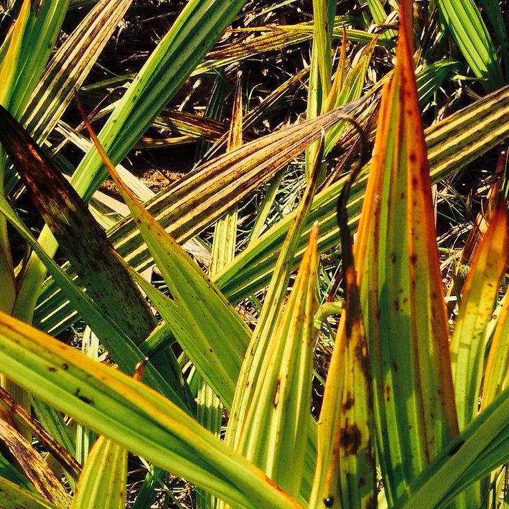 Leaves of Wachendorfia thyrsiflora