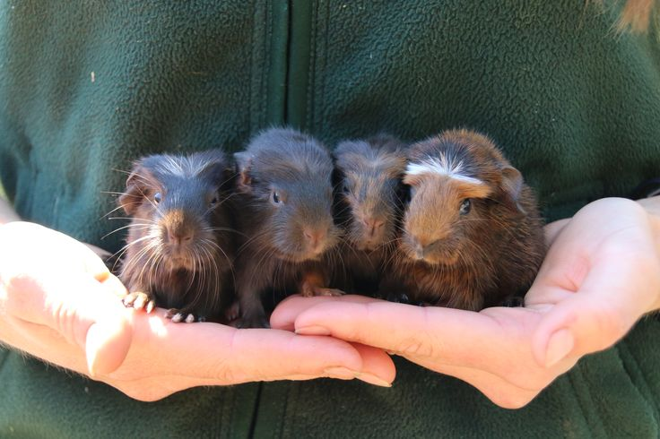 Guinea Pig squad goals! This cute quartet was born yesterday at our Backyard to Bush area.