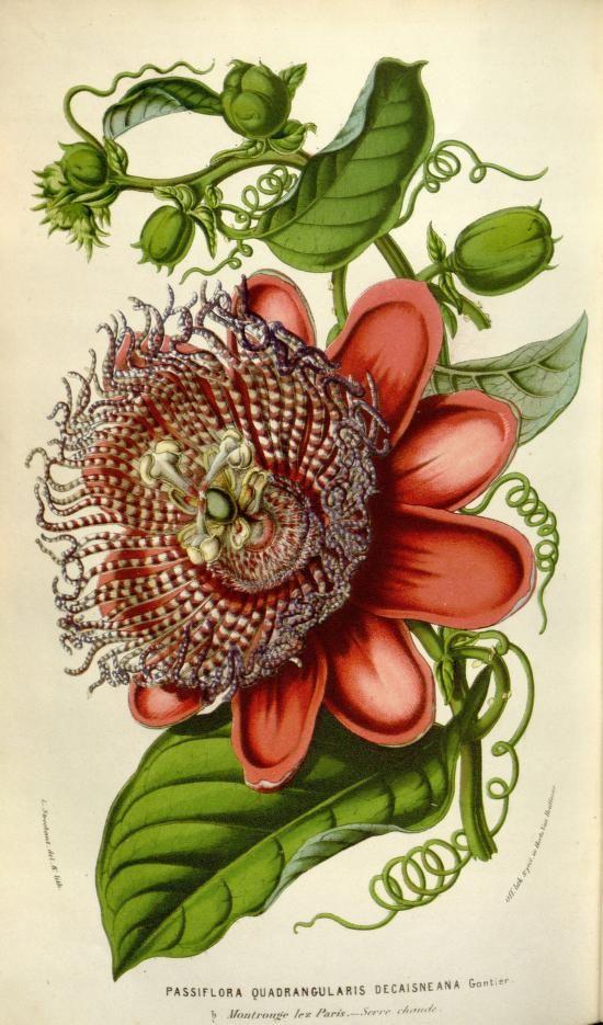 Passiflora quadrangularis decaisneana. Flore des serres et des jardins de l'Europe v.8 (1852-53). A Gand :chez Louis van Houtte, éditeur,1845-1880. Biodiversitylibrary. Biodivlibrary. BHL. Biodiversity Heritage Library