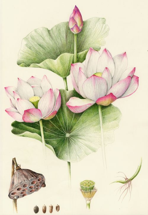 Sacred Lotus - Collection of botanical illustrations of flowers by Wendy Hollender.