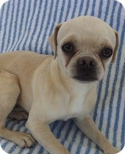 25 Best Ideas About Pug Chihuahua Mix On Pinterest Pug