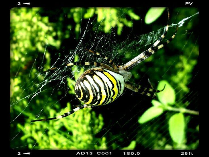 L'araignée épeire fasciée #araignée #spider