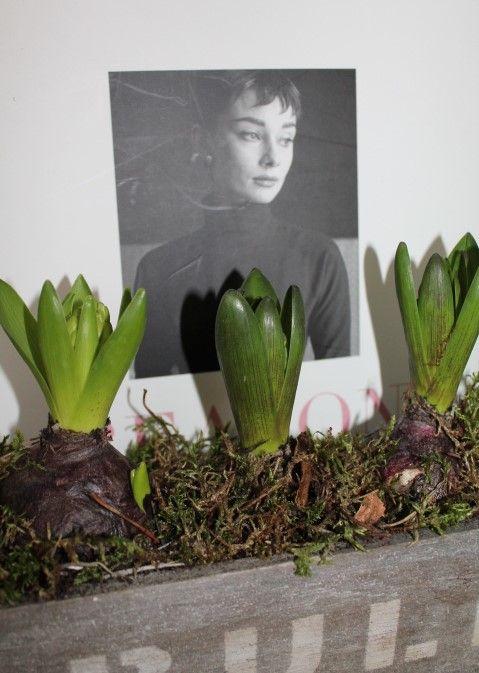 Audrey with Hyacinths Bulbs #http://www.lookbackinvintage.co.uk/