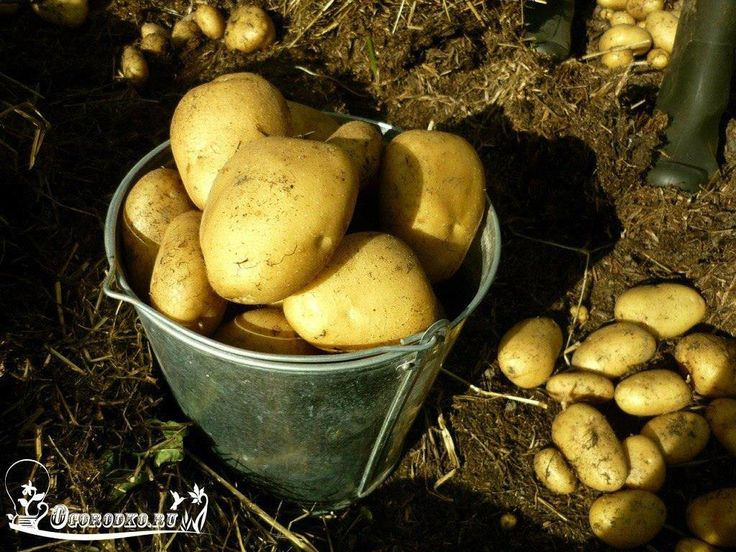 Как обновить сорт картофеля: 5 способов    Не секрет, что со временем картофель вырождается: теряются его сортовые качества, снижается устойчивость к болезням, уменьшается урожайность, ухудшается лежкость. И происходит это, к сожалению, довольно быстро. По хорошему, через каждые 5-7 лет огороднику необходимо полностью обновлять сорта картофеля на своем участке.  Но действительно качественный семенной картофель (мини-клубни, суперэлита и элита) стоит немалых денег. По этой причине нам нужно…