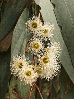 Eucalyptus melliodora flower.gif