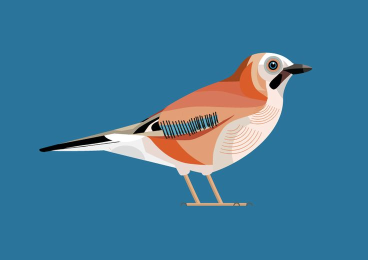 winterjay bird illustration, vector kim hankinson