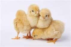 Backyard Chickens Make Great Pets: A Bonus Of Fresh Eggs, Too!