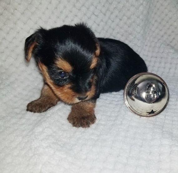 Khaleesi Yorkshire Terrier Puppy Puppyspot Yorkshire Terrier