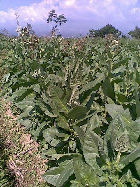 ladang tembakau di sawahku
