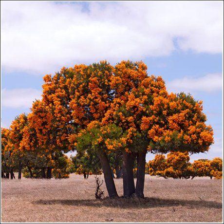 Western Australia Christmas Tree (Nuytsia floribunda).