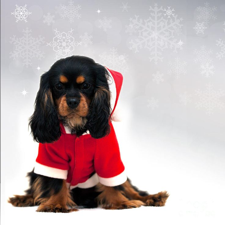 Christmas Cavalier King Charles Spaniel Puppy Dog #holiday #dogs
