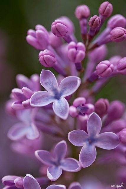 A few more months and our lilacs will be blooming