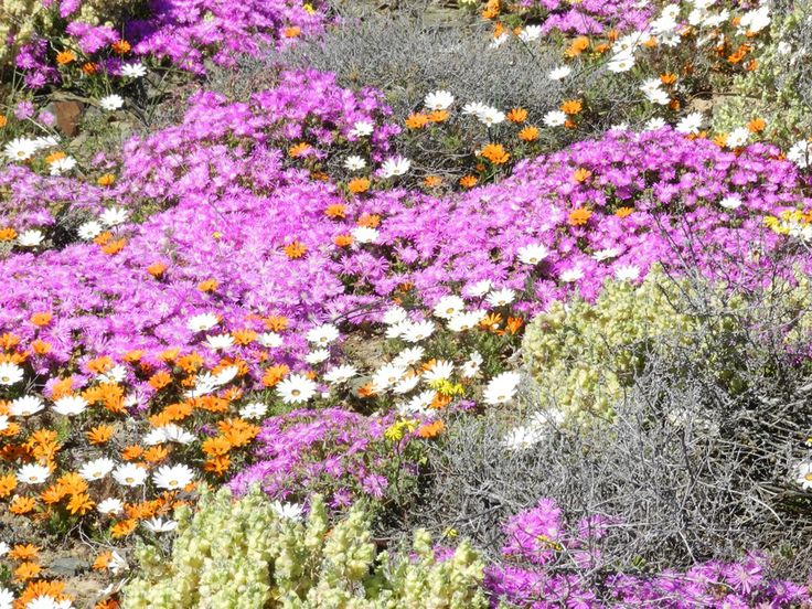 NAMAQUALAND FLOWER TOUR when Springtime really shows off! A 6 day tour that will take you through the Karoo and into the fields of flowers of the western Cape