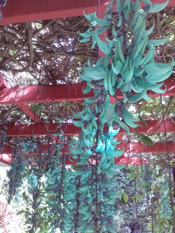 Jade vine at Cairns botanic gardens, august 2014