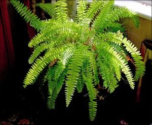 Winter Care For Boston Fern: How To Overwinter A Boston Fern Plant. Also how to trim: http://www.gardeningknowhow.com/houseplants/boston-fern/trimming-boston-ferns.htm How to divide and propagate: http://www.gardeningknowhow.com/houseplants/boston-fern/boston-fern-runners.htm