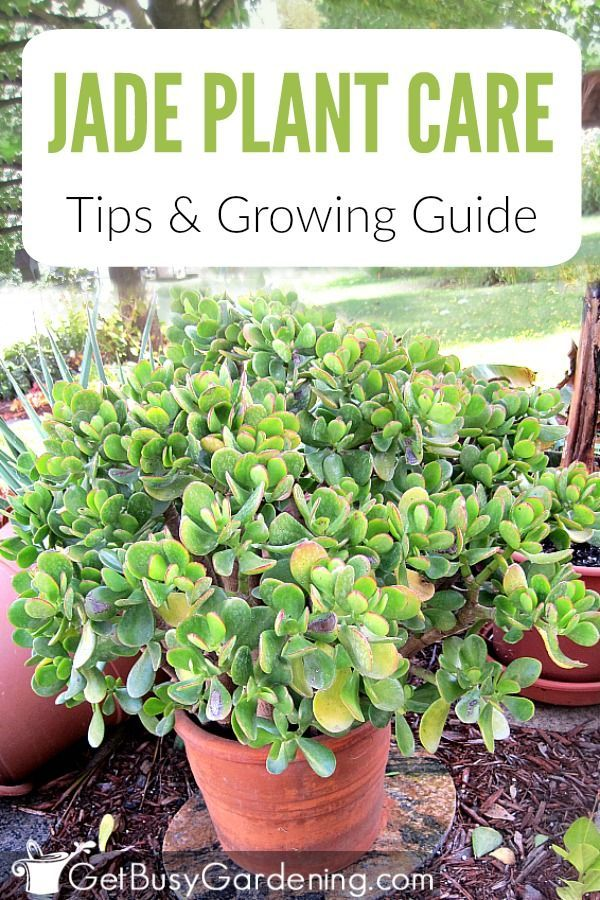 How To Care For A Jade Plant With