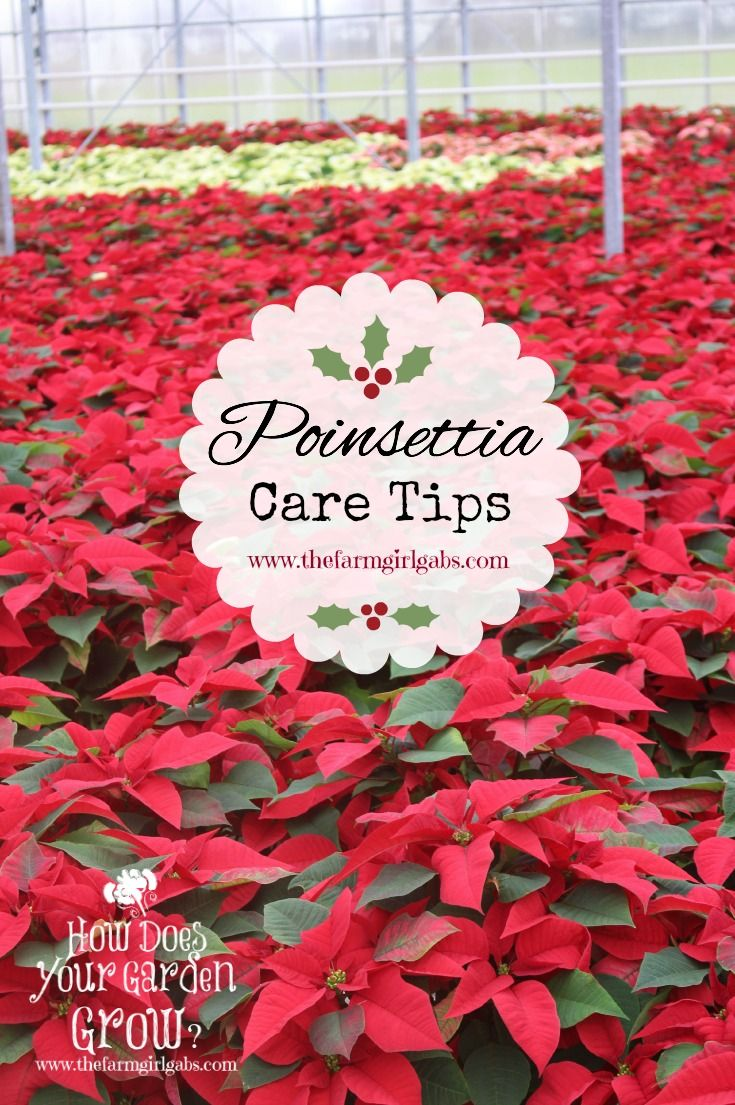 Great Tips On How To Care For Poinsettias Poinsettia