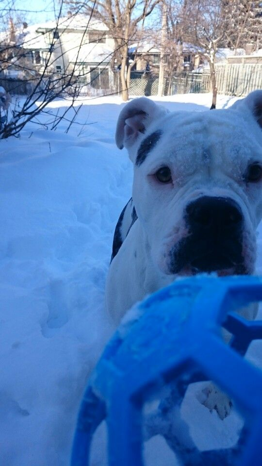 Nyx FEB'15  Snowy days in the backyard with my little blue ball.
