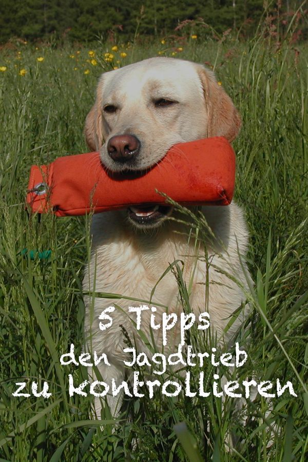 5 Tipps Den Jagdtrieb Zu Kontrollieren Dogeridoo Jagd Hunde Welpen Erziehung Hunde