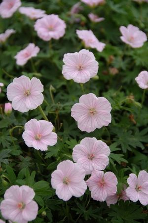 Geranium sanguineum 'Striatum' (Bloody geranium) - Perennial - Zones 3-8, Height 9-12 in. Blush pink flowers with crimson veins cover the plant for 6-8 weeks in late spring and early summer, followed by sporadic bloom until frost. A low spreading mat of finely cut leaves makes a compact and reliable groundcover.