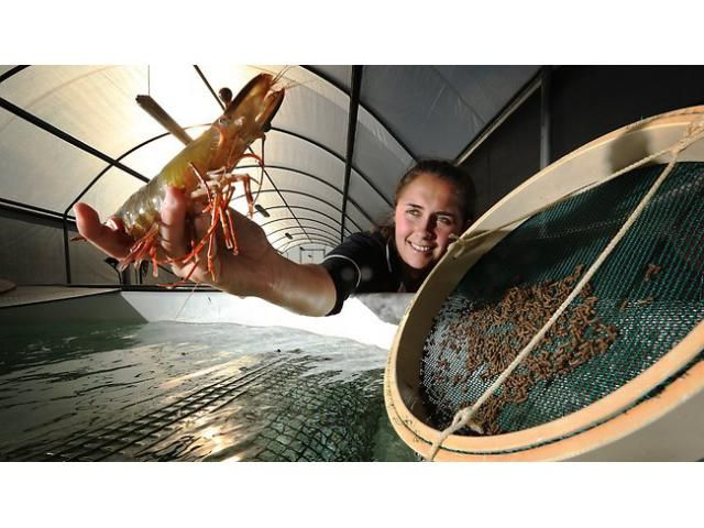 Prawn farming made more profitable by CSIRO  CSIRO marine scientists at Queensland's Bribie Island aquaculture research station have discovered that prawns - and potentially farmed fish...