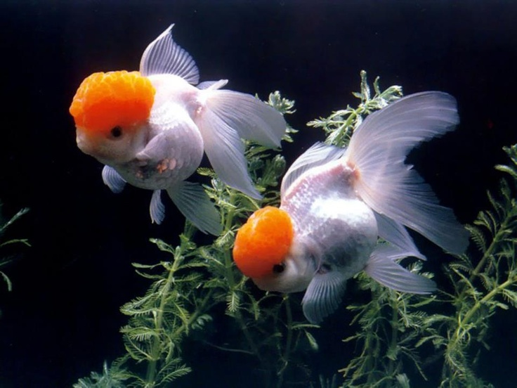 962 best images about salt water and tropical fish on for Can tropical fish live with goldfish