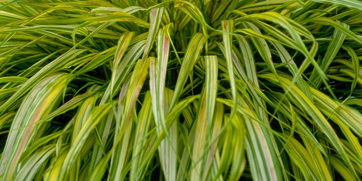 Hakonechloa Cacra – Known as Japanese forest grass, this vibrant deciduous plant thrives in damp shade and has mounds of cascading leaves. Variegated and golden forms are the most eye-catching and will have the brightest colour in partial shade. Good in pots.