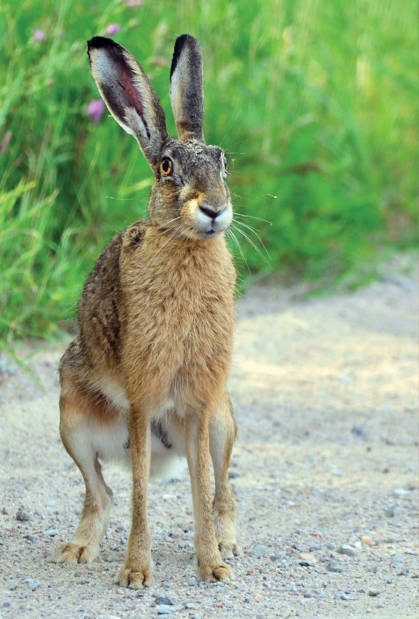 brown hare photographs - Google Search