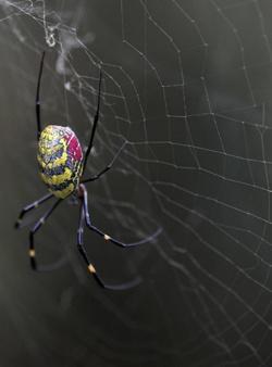 gorgeous spider