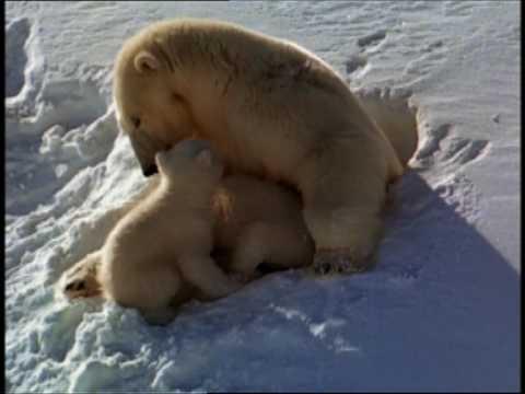 National Geographic - Cuccioli di orso polare