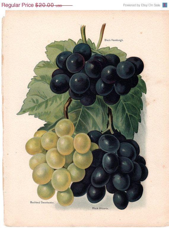 SALE 1891 Antique Fruit Print Botanical by AntiquePrintGallery, $17.00