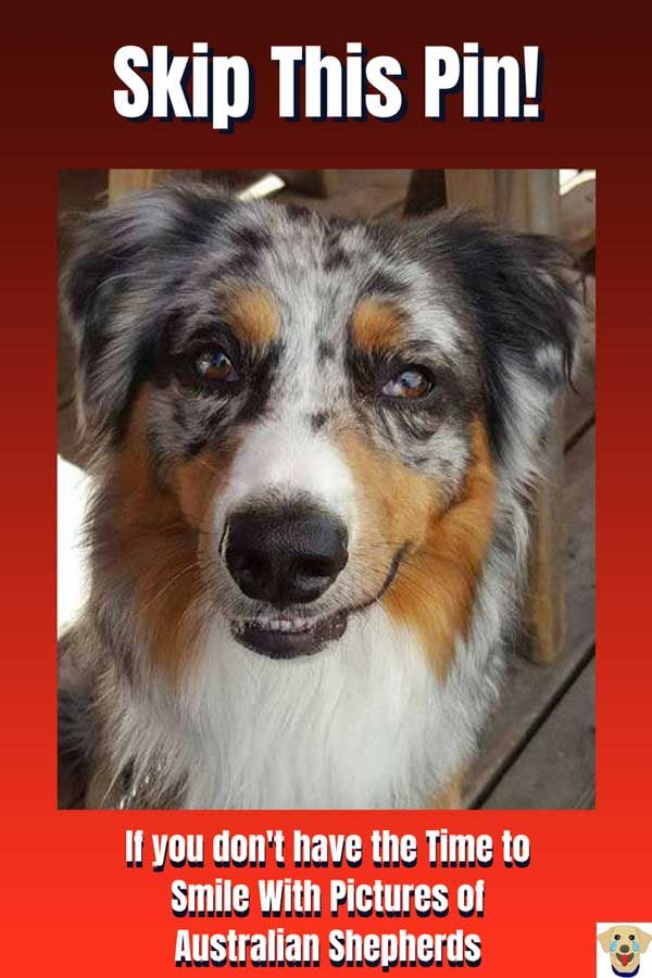 Time To Smile With Pictures Of Australian Shepherds Australian