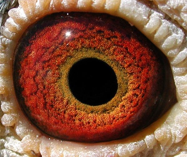 Google Image Result for http://www.angelfire.com/ga/huntleyloft/images3/yellow_eye_202.jpg