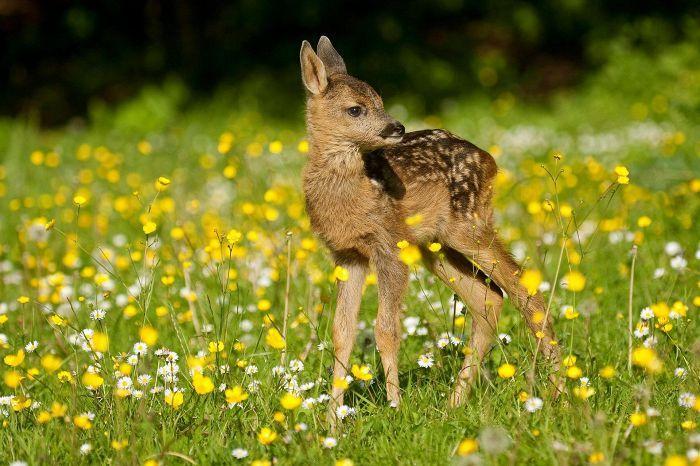 Metsäkauriin suloinen vasa innoitti Felix Saltenin kirjoittamaan Bambi-kirjan. Siitä tehdyssä Disney-elokuvassa on väärä kauris.