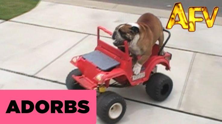 Bulldog Driving A Car - AFV #animal #pet #dog #funny