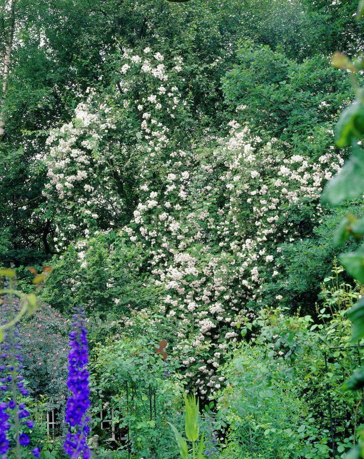 1284 best images about rosa on pinterest buy roses shrubs and roses garden. Black Bedroom Furniture Sets. Home Design Ideas