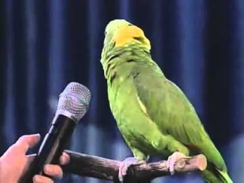 how to play and your bird can sing