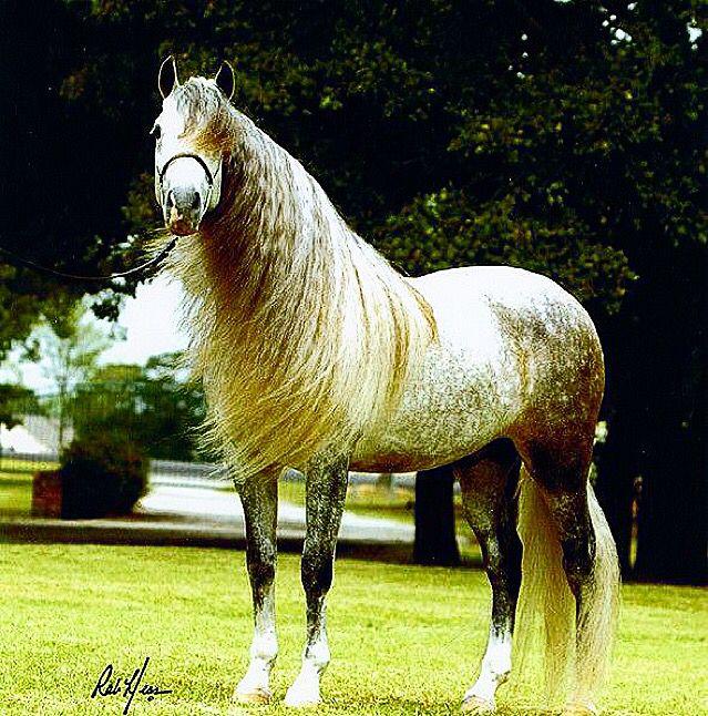 "#RAZASDECABALLOS CABALLOS ANDALUCES  Región de Origen: España, Andalucía Características Morfología Constitución fuerte, compacto, elegante melena, y espesa cola Tipo Caballo  El caballo andaluz (oficialmente Pura Raza Española) es una raza de caballo española originaria de Andalucía. Se trata de un caballo ibérico de tipo barroco que está entre las razas equinas más antiguas del mundo. En España también se le conoce comúnmente como ""caballo español"" y se le denomina oficialmente ""Pura Raza…"