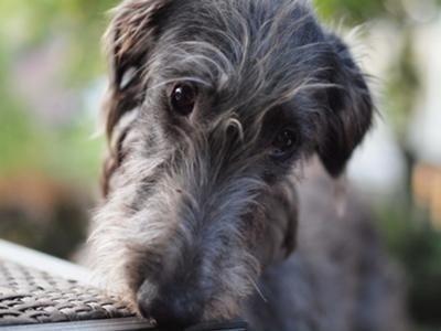 deerhound...looks like Wynn