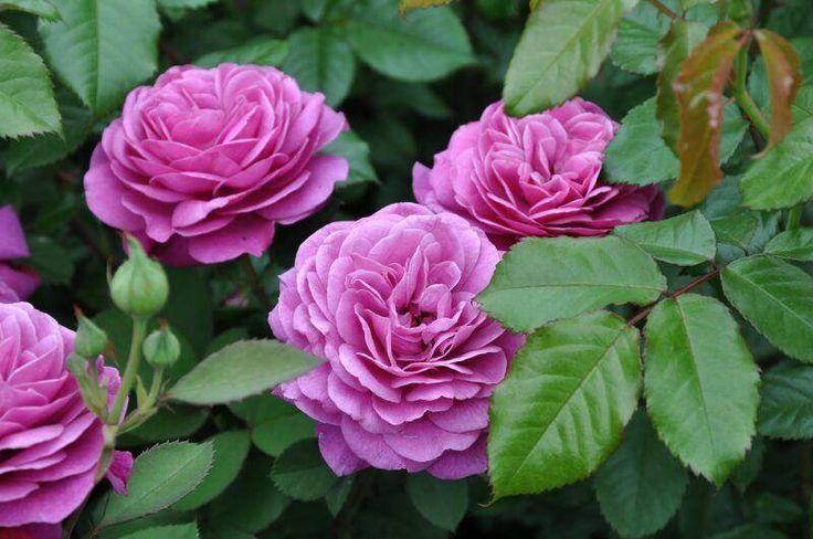 Роза патио сорт Heidi Klum (Хайди Клум) компактный куст с крупными (7-9 см в диаметре), очень ароматными махровыми цветками ярко-фиолетового цвета. Сорт отличается обильным цветением.